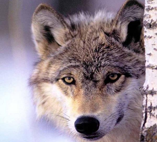 Projet de plan d'action national sur le loup et les activités d'élevage pour la période 2018-2023