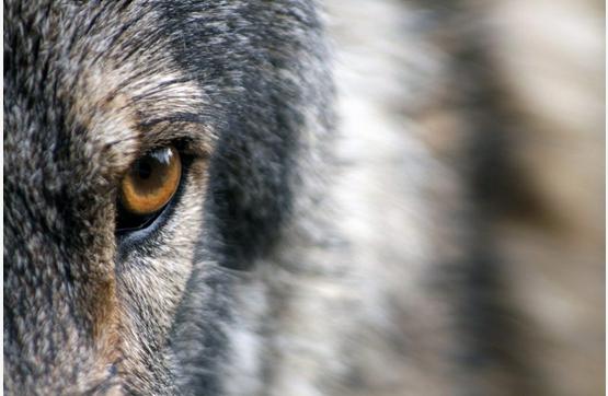 Oui aux drones pour effaroucher le loup