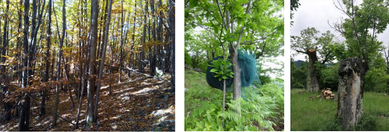 ARDECHE: La reconquête de la châtaigneraie s'étend à la forêt